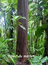 marbri, arbre, chutes carbet, basse terre sud, gaudeloupe