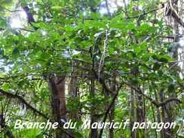 Byrsonima trinitensis, Papaye
