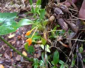 orchidée, nez cassé, st claude, basse terre, gaudeloupe