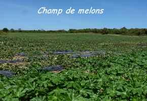 melon champ,TGT2, grande terre, guadeloupe