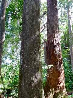frézias arbres pépinière foret tropical ecosysteme tropical