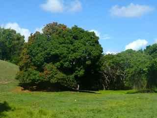 Mangifera indica, rivière audoin moule, guadeloupe