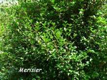 balade terre de bas, arbuste, les saintes, iles guadeloupe, antilles