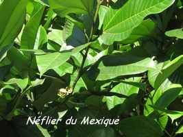 neflier, arbre, bras de fort, goyave, guadeloupe