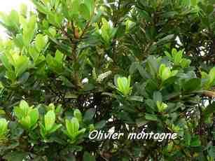 olivier montagne , arbuste, nez cassé, basse terre, guaueloupe