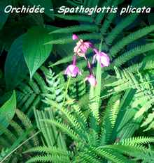 orchidée, trace 36 mois, ste rose, basse terre, guadeloupe
