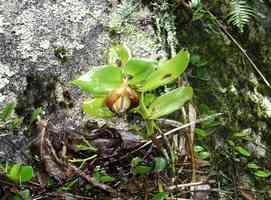 Epidendrum, Orchidée, Piton de Boyuillante