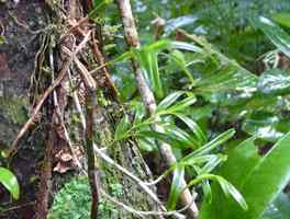 Epidendrum, Orchidée, Piton de Bouillante