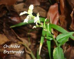 orchidée erythrodes, trace contrebandiers, basse terre nord, guadeloupe