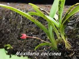Maxillaria coccinea, orchidée, Papaye