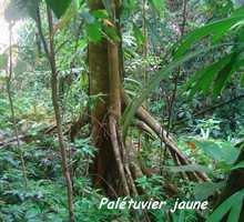 palétuvier jaune, arbre, trace 36 mois, ste rose, bass terre, guadeloupe