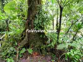 palétuvier jaune, arbre, chutes carbet, basse terre sud, guadeloupe
