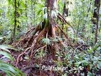 palétuvier jaune, arbre, madeleine, basse terre sud, gaudeloupe