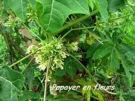 papayer, arbre, bras de fort, goyave, guadeloupe