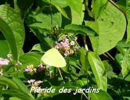 Phoebis sennae, Papillon, Grande Pointe