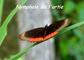 Biblis hyperia hyperia, Nymphale de l`ortie, Lac de Gaschet