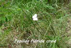 Ascia monuste virginia, Piéride craie, Lac de Gaschet