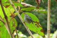 paruline, oiseau, madeleine, basse terre sud, guadeloupe