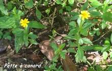 patte à canard, herbacée, trace 36 mois, ste rose, basse terre, guadeloupe