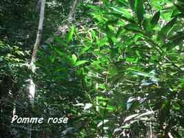 pomme rose, arbre, bras de fort, goyave guadeloupe
