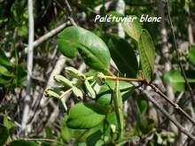 Laguncularia racemosa, Le helleux, guadeloupe, antilles