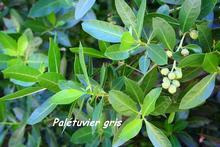 Conocarpus erecta, guadeloupe, antilles
