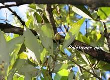 Avicenia germinans, Port Louisl, guadeloupe, antilles