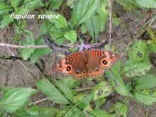 papillon mangrove, ecosysteme tropical, guadeloupe, antilles
