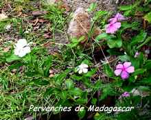 balade, plante jardin, terre de bas, les asintes, iles guadeloupe, antilles