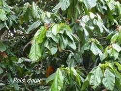 arbre, dos d`ane, basse terre, guadeloupe, antilles
