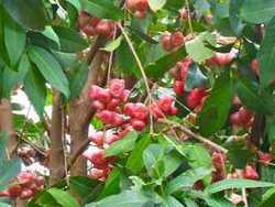 pomme d`eau jardin matouba