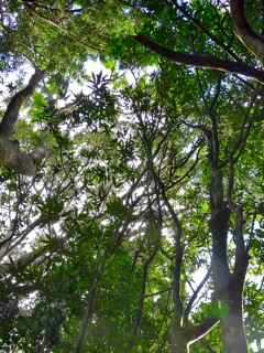 pomme rose Frézias arbre foret humide écosysteme tropical basse terr