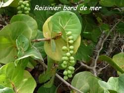 raisinier, arbuste, pointe des chateaux, guadeloupe