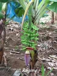 bananes, bras de fort, goyave, guadeloupe