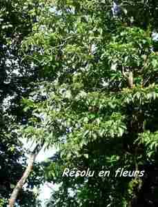 résolu, arbre, nez cassé, st claude, basse terre, guadeloupe