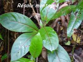 Rondeletia parviflora, arbre, Papaye