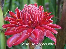 rose porcelaine, fleur, bras de fort, goyave, guadeloupe