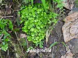 Selaginella rotundifolia, Papaye