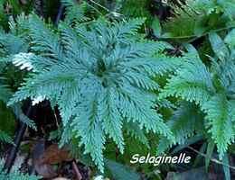 Selaginella flabellata, trace contrebandiers, basse terre nord, guadeloupe