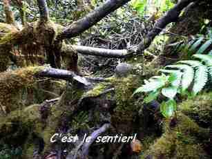 sentier dans les mangles, nez cassé, basse terre, guadeloupe