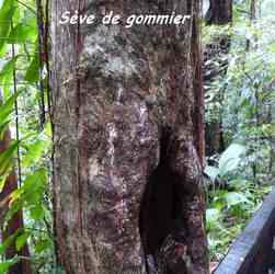 gommier, arbre, chutes carbet, basse terre sud, guadeloupe