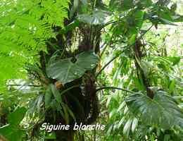 siguine, epiphyte, chutes carbet, basse terre sud, guadeloupe