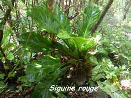 Anthurium hookeri, Siguine rouge, Piton de Bouillnate