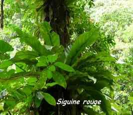siguine, épiphyte, chutes carbet, basse terre sud, guadeloupe