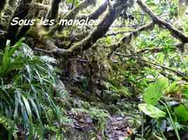 Clusia mangle,Mangle montagne, Piton de Bouillante