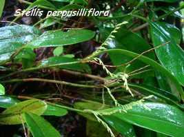 orchidée nez cassé, basse terre, guadeloupe