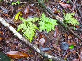 Frézias herbacée foret humide ecosystème tropical antilles