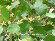 balade, désirade, arbre en fleur, iles de guadeloupe, antilles