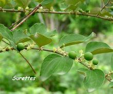 balade, désirade, arbre, iles de guadeloupe, antilles