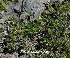 riray, arbuste,TGT5, grande terre, guadeloupe